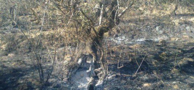 """مستوطنو """"جلعاد"""" يحرقون 64 شجرة زيتون في قريتي فرعتا واماتين /محافظة قلقيلية"""