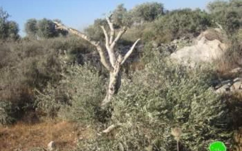 Damage of 62 Olive Trees in Tarmis'ia