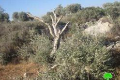 """مستعمرو """"عادي عاد"""" يتلفون 62 شجرة زيتون في بلدة  ترمسعيا / محافظة رام الله"""