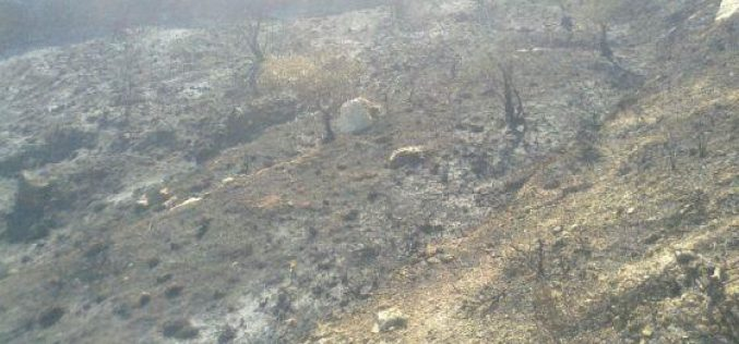 Burning 78 Olive Trees in Ramallah