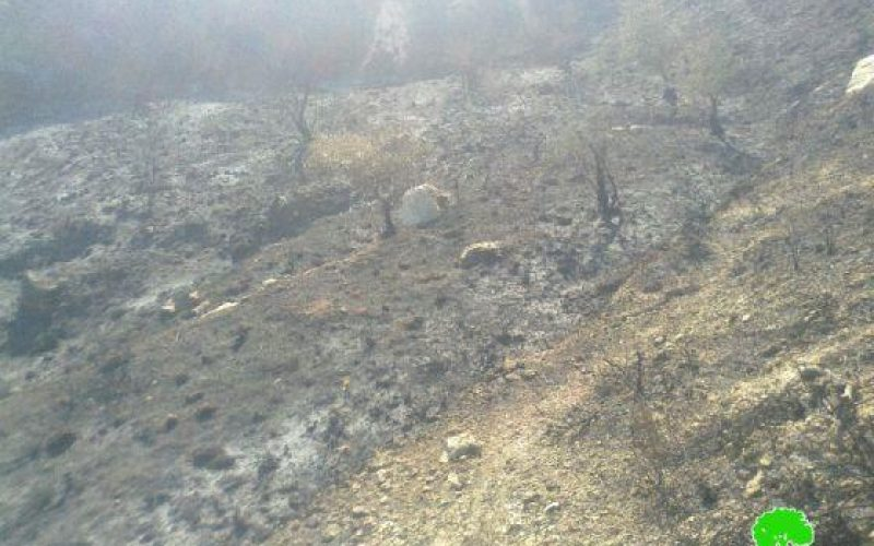 Burning 78 Olive Trees in Ramallah