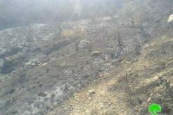 إحراق 78 شجرة زيتون في قرية مخماس /محافظة رام الله