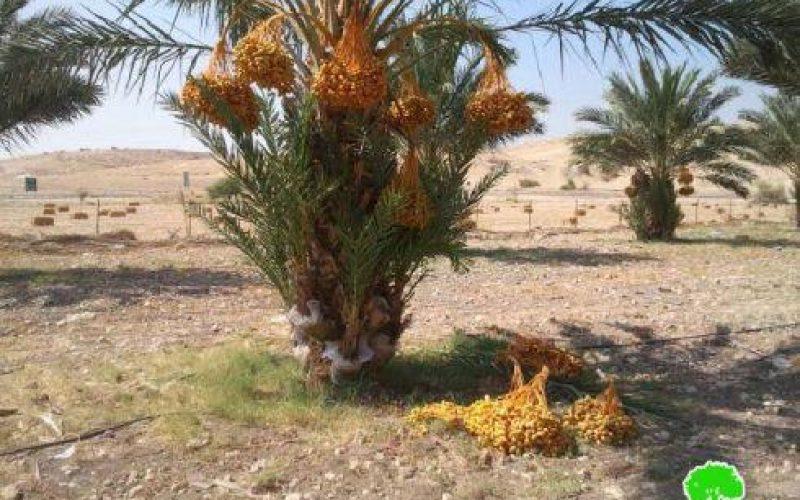 إتلاف 24 شجرة نخيل في منطقة واد المالح / محافظة طوباس