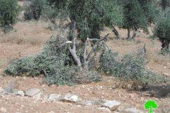 """مستعمرون يقطعون أشجار زيتون في الحمرا شرق يطا ويوسعون مستعمرة """"ماعون"""""""