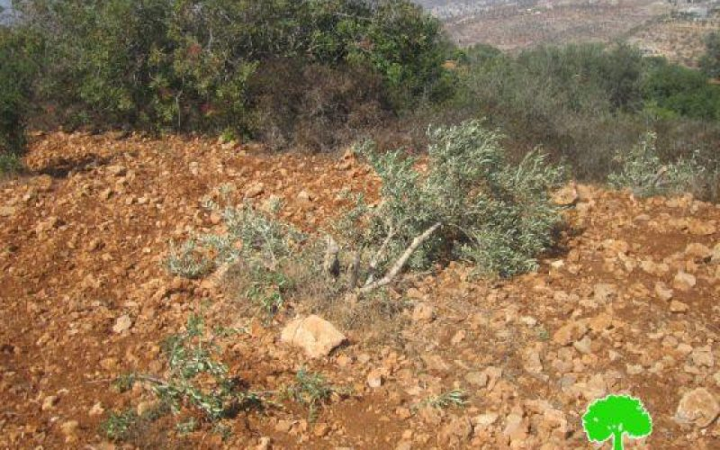 Destroying 27 olive trees in Burin- Nablus