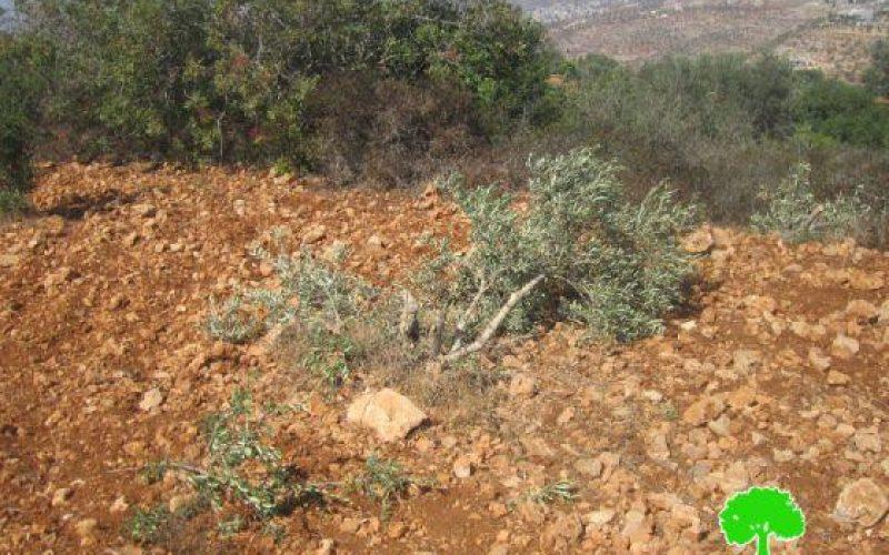 إتلاف 27 شجرة زيتون في قرية بورين / محافظة نابلس