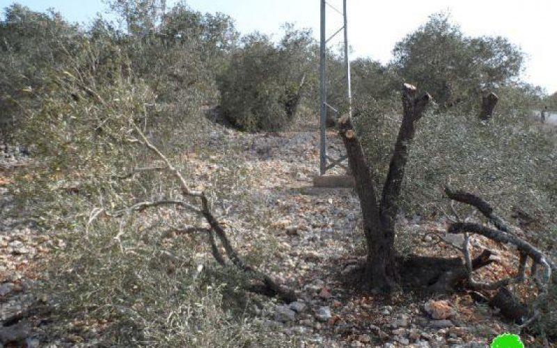 اتلاف 23 شجرة زيتون في قرية جيت / محافظة قلقيلية