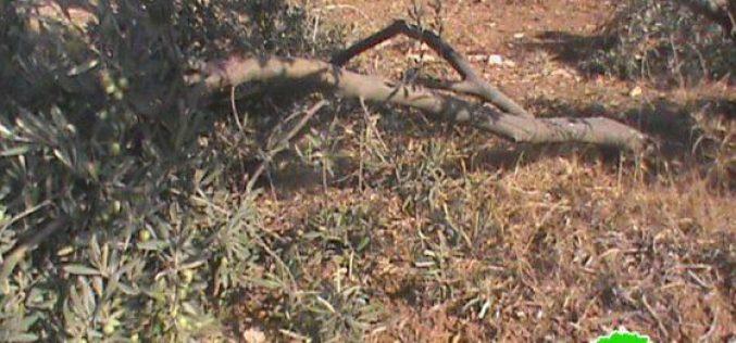 """مستعمرو """"ماعون"""" يعتدون على أشجار الزيتون في الحمرا شرق يطا / محافظة الخليل"""