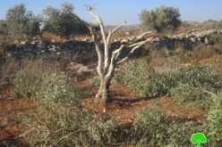 Destroying 19 olive saplings in Deir Sharaf- Nablus