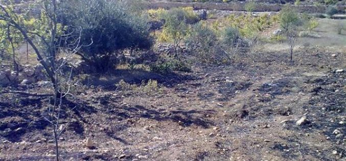 Setting 90 almond and olive trees on fire in Al Khader