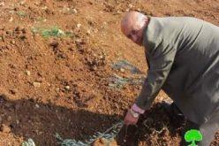 """مستعمرو مستعمرة """" شيلو """"  يتلفون 60 غرسة زيتون في قرية ترمسعيا /محافظة رام الله"""