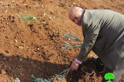 Destroying olive seedlings in Turmusayya