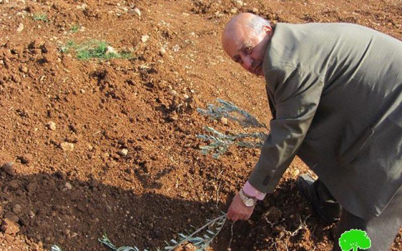 Destroying olive seedlings in Turmusayya