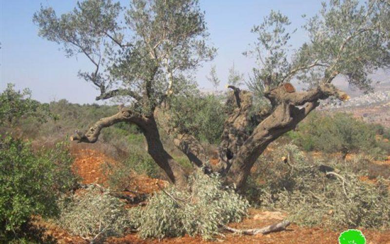 """مستعمرو مستعمرة """" يش كودش """" يتلفون 27 شجرة زيتون  في قرية قصرة /محافظة نابلس"""