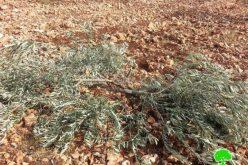الاحتلال الإسرائيلي يتلف 140 غرسة زيتون و حمضيات في قرية راس عطية /محافظة قلقيلية