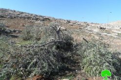 Colonists cut down 20 olive trees