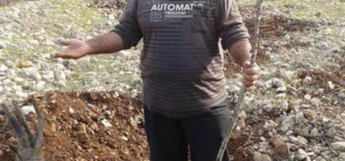 الاحتلال الإسرائيلي  يقطع 1000 غرسة زيتون في وادي قانا /محافظة سلفيت