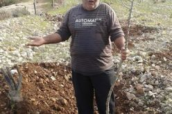 The occupation cuts off 1000 saplings in Wadi Qana