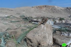 The Israeli occupation cuts down 120 palm trees in Az Zubeidat