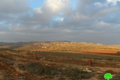 Shilo colonists destroy 400 olive seedlings in Sinjil Village