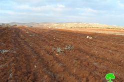 Adi Ad colonists destroy 206 olive seedlings in Turmus'ayya village – Ramallah Governorate