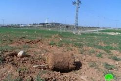 Colonists uproot 70 olive seedlings in Yatta