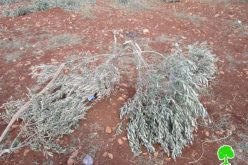 Kedumim colonists destroy 40 olive seedlings