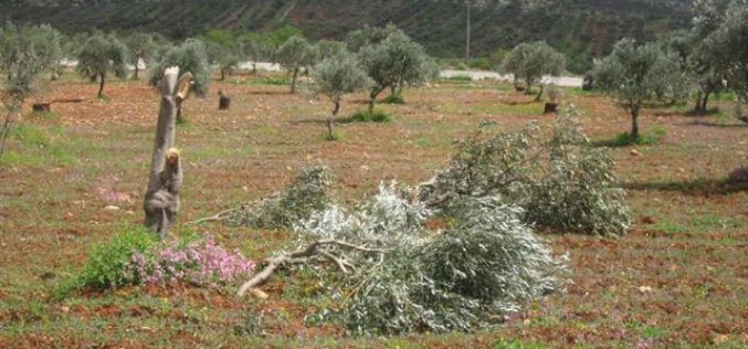 Colonists of Yitzhar damage 34 olive trees in Huwara