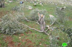 إتلاف 43 شجرة زيتون في قرية مخماس
