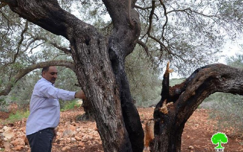 حرق 14 شجرة معمرة من أراضي قرية جينصافوط
