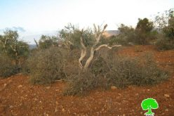 Colonists of Adi Ad destroy 17 olive trees in Al Mughayyir