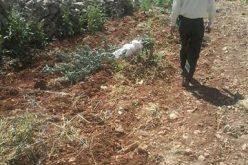 """مستعمرو """" تلمون"""" يتلفون 21 غرسة زيتون في قرية الجانية / محافظة رام الله"""