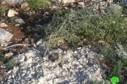 250 olive seedlings uprooted in Jenin