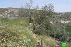 قطع 52 شجرة  لوزيات في قرية مادما وتهديد 1000 شجرة أخرى بالقلع