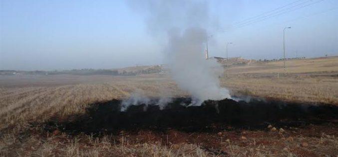 مستعمرون يحرقون محصول قمح في خربة قواويس شرق يطا