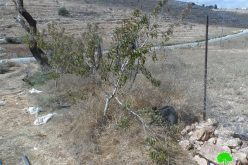 Colonists cut down 40 fruitful trees in Deir Nitham, Ramallah governorate