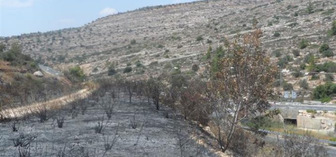 Setting Fire to Scores of Olive Trees in Deir Ibzi