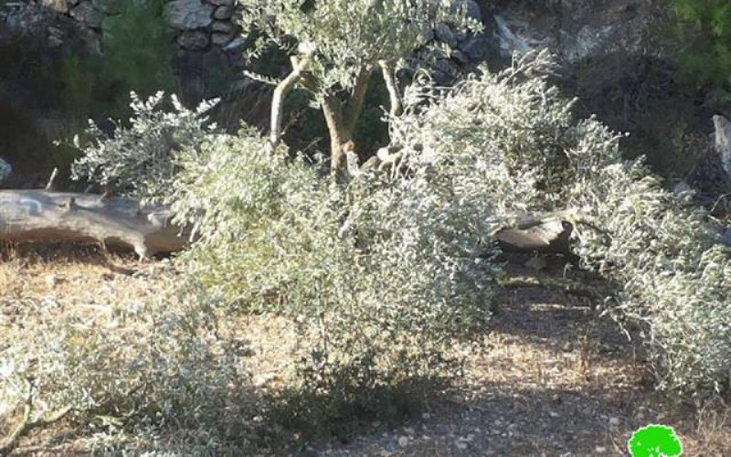 Colonists cut down 50 olive trees in Bethlehem