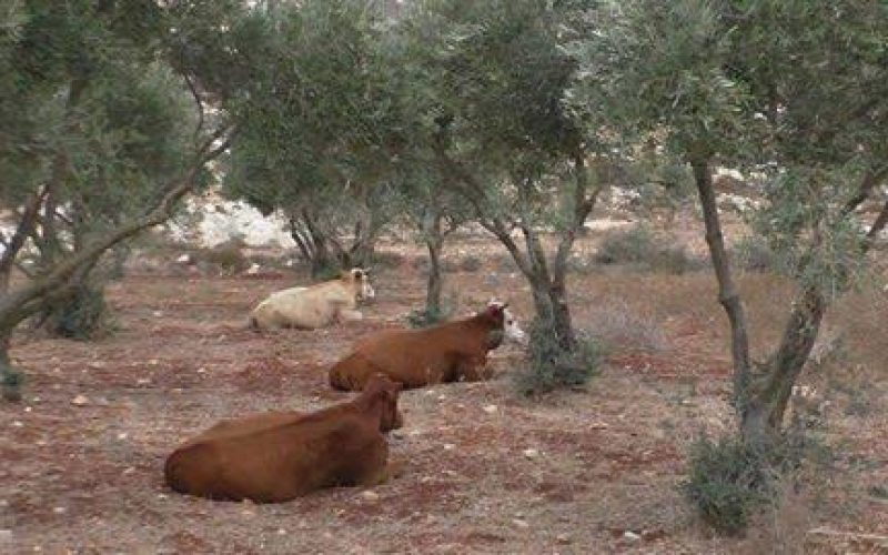 Itamar colonists release their cows in Aqraba olive groves despite being classified as area B
