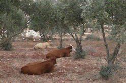 """مستعمرو """" ايتمار"""" يطلقون أبقارهم في حقول زيتون بلدة عقربا … رغم أنها منطقة مصنفة """"ب"""""""
