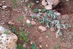 Itamar colonists cut down 50olive saplings in Aqraba