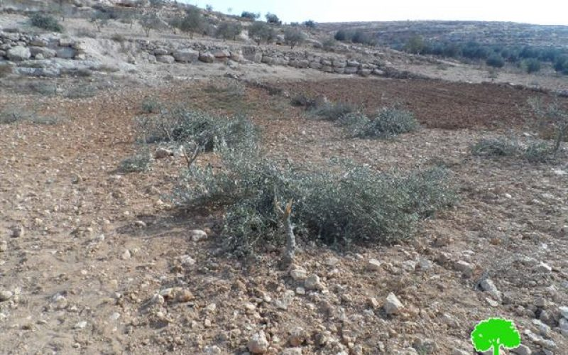 الانتهاكات الإسرائيلية الاستعمارية على الزيتون الفلسطيني خلال موسم القطاف (5/10 – 30/11/2014)