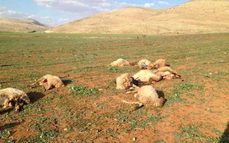 نفوق 15 رأس من الأغنام بفعل السموم التي وضعها المستعمرين في منطقة لفجم