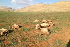 A Jewish colonist poisons 15 heads of Sheep in Nablus