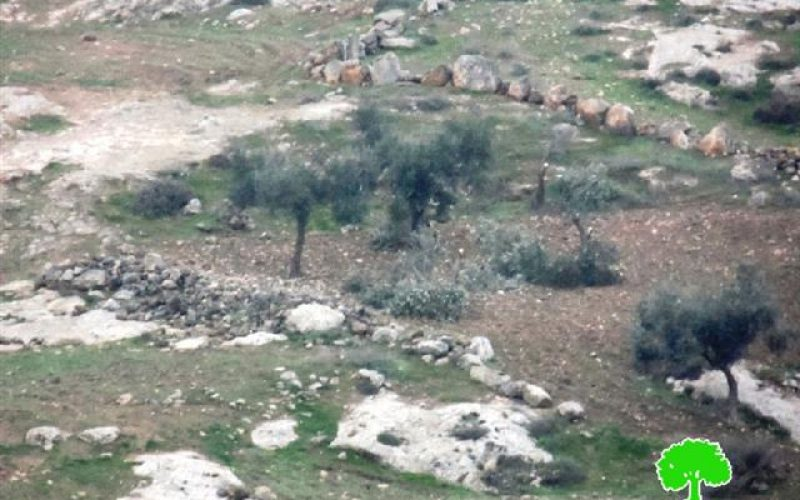 مستعمرون يعتدون على 33 شجرة في خربة قواويس شرق يطا بمحافظة الخليل