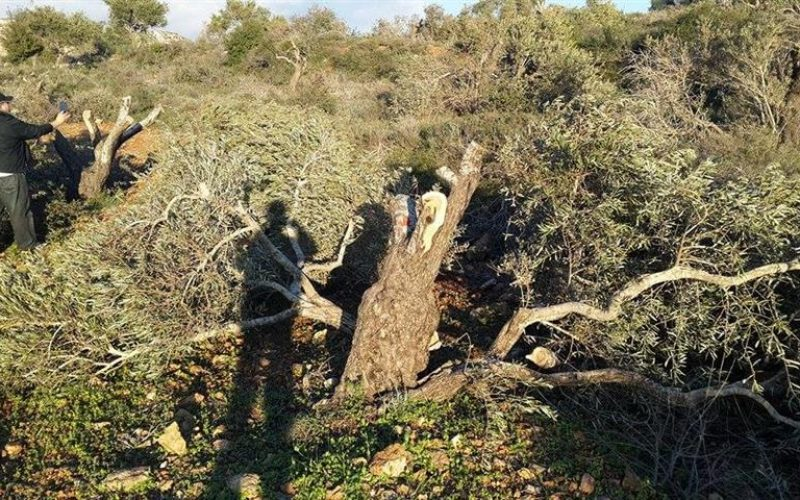 Uprooting 36 fruitful olive trees in Yasuf