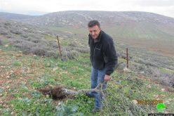 """مستعمرو """"عادي عاد"""" يعدمون 14 شجرة زيتون في قرية المغير / محافظة رام الله"""