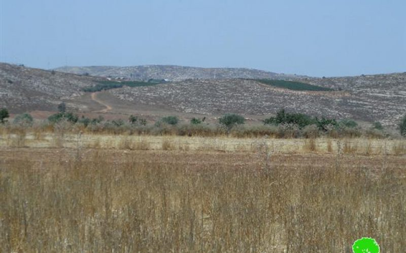 Adi Ad colonists destroy150 olive saplings in the Ramallah village of Turmusayya