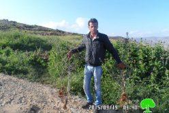 هدم جدران استنادية واقتلاع 300 غرسة زيتون في قرية مجدل بني فضل / محافظة نابلس