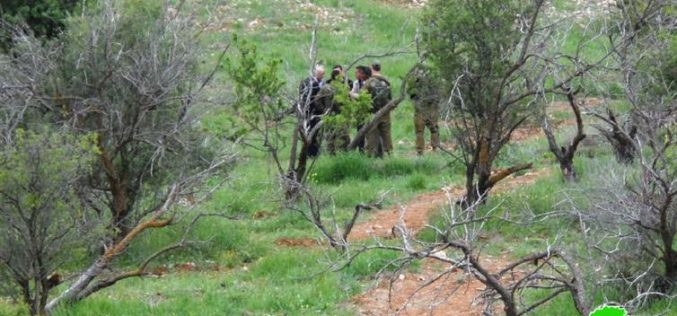 Within the vicious attack on Palestinian olive trees, Israeli Colonists uproot 1200 olive and almond seedlings from the lands of al-Shuyukh village